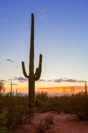 Sunset in the  Saguaro National Park, near Tucson,  southeastern Arizona, United States. Saguaro cactus (Carnegiea gigantea) stands out against an evening sky.