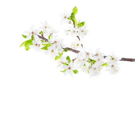 Blossoming apple tree branch isolated on white background. Stock Photo