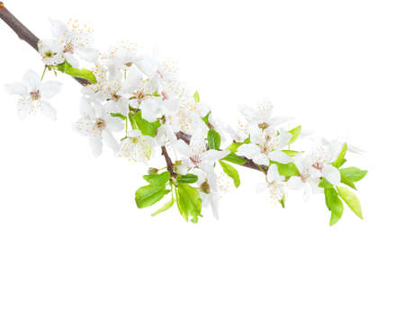 Flowering branch of the apple-tree isolated on white background