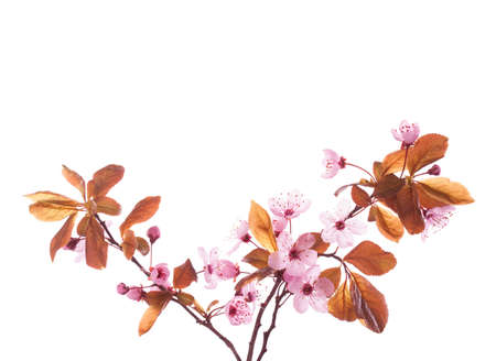 Blossoming Plum  branches isolated on white background.