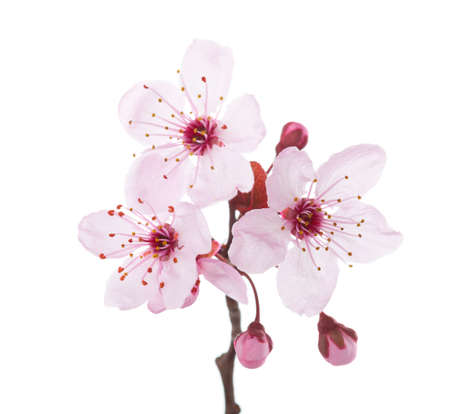 Branch in blossom ( Plum ) isolated on white background.