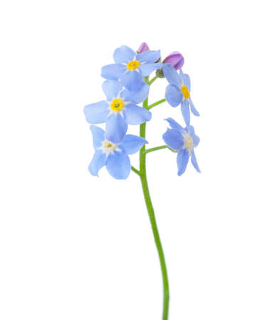 Forget-me-nots isolated on white background. Stock Photo