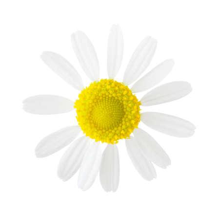Close-up of Chamomile (Matricaria chamomilla) isolated on white background.