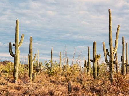 Landscape of the desert with Saguaro cacti.  Toned image Stock Photo