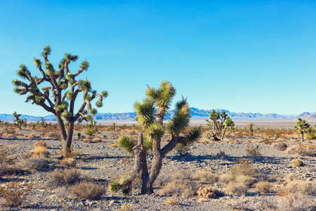 Joshua Tree and forest  in the Mojave National Preserve,  southeastern California, United States