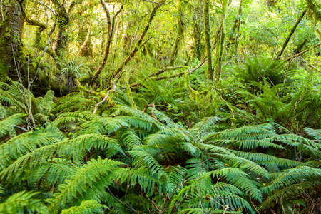 Dense thicket in the temperate rainforest, South Island, New Zealand. Reklamní fotografie