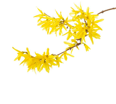 Branch with yellow flowers of Forsythia isolated on white background.