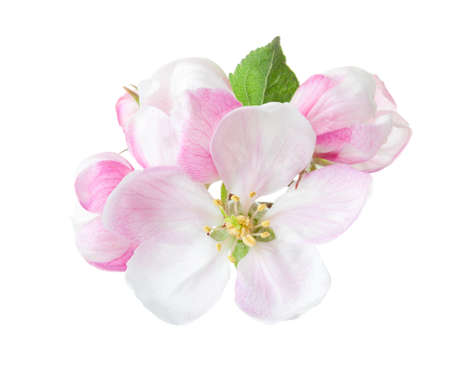 Close up of blooming apple twig isolated on white background. 写真素材