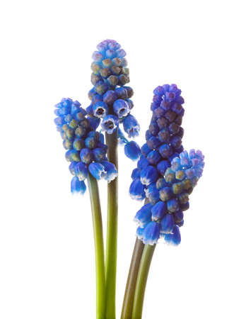 Four flowers of  Grape Hyacinth isolated on white background. Imagens