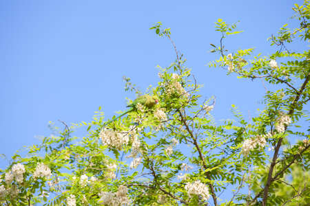Branches of flowering Acacia (Black Locust) against the blue sky and green Parakeet eating Acacias flowers. Imagens