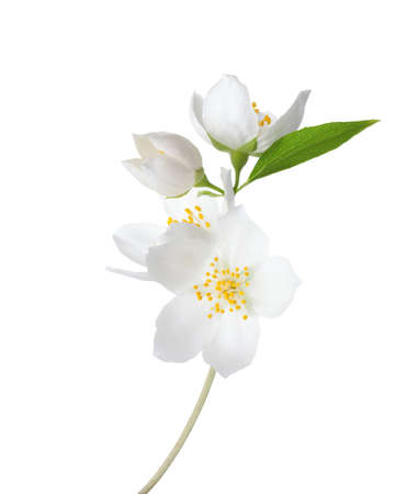 Branch of  Jasmines (Philadelphus) flowers isolated on white background.