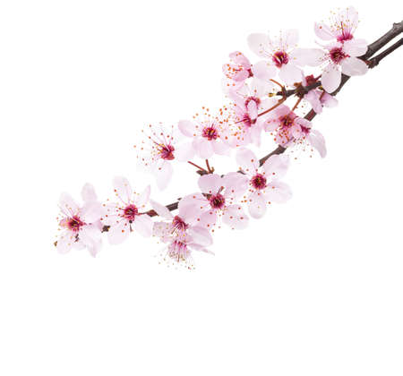 Branches of Sakura isolated on white background. Imagens