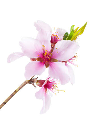 Flowering branch of Almond isolated on white background. Imagens