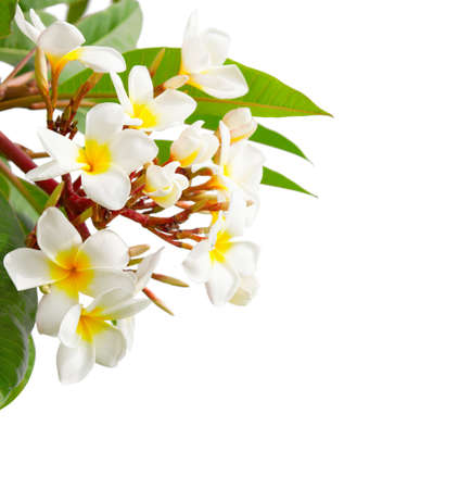 Branch of tropical white flowers (Plumeria) isolated on white background. Imagens
