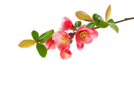 Close up of a Flowering Quince (Chaenomeles) isolated on white background.