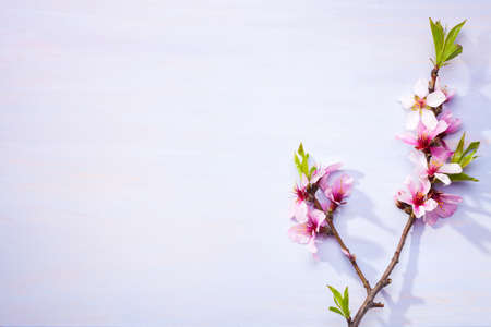 Flowering branches of Almond on a light lilac wooden table. Imagens