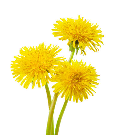 Three yellow dandelions  isolated on a white background.