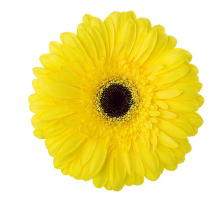 Gerbera flower of yellow color isolated on white background.