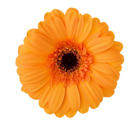 Gerbera flower of orange color isolated on white background.