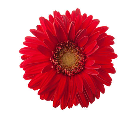 Bright red Gerbera flower isolated on white background. Imagens