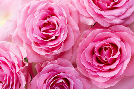 Floral background of pink Roses. Flat lay.
