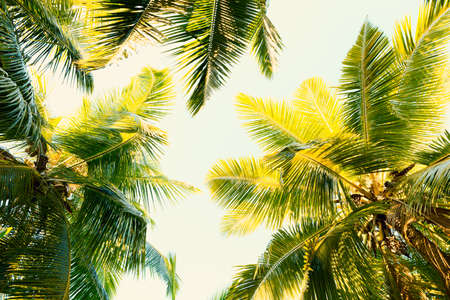 Coconut palm trees on clear summer sky. Tropical background. Low Angle View.  Toned image.