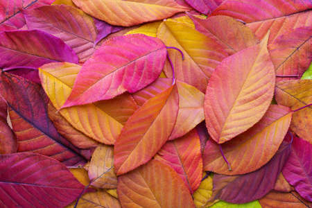 Colorful background with autumn Cherry leaves.