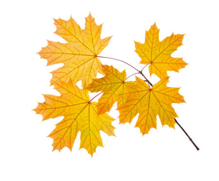 Branch of Maple with yellow leaves isolated on white background.
