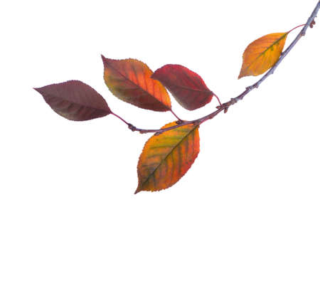 Cherry branch with colorful  autumn leaves isolated on white background. Prunus cerasus.
