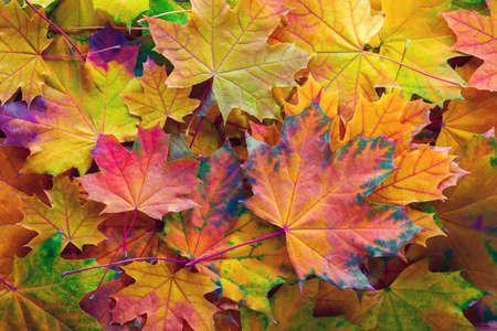 Herbsthintergrund mit bunten Blättern. Gefallene Ahornblätter. Standard-Bild