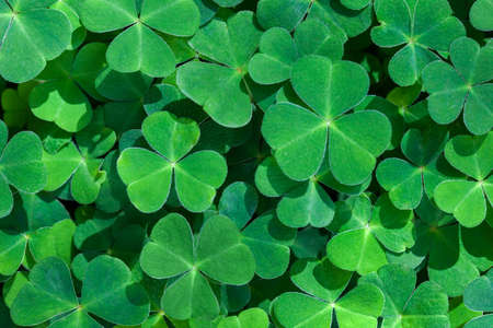 Natural green background with fresh three-leaved shamrocks. St. Patrick's day holiday symbol. Top view. Selective focus. Stock Photo