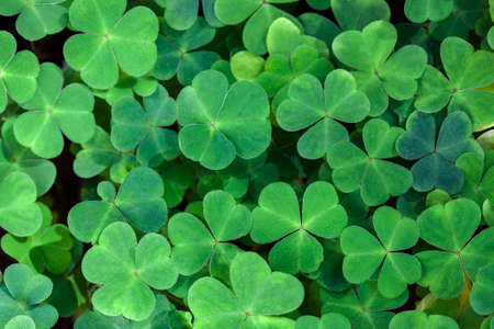 Fresh three-leaved shamrocks as natural green background. St. Patrick's day holiday symbol. Top view. Selective focus.