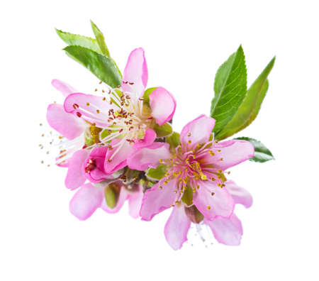 Closeup of blooming Almond flowers isolated on white background. Standard-Bild