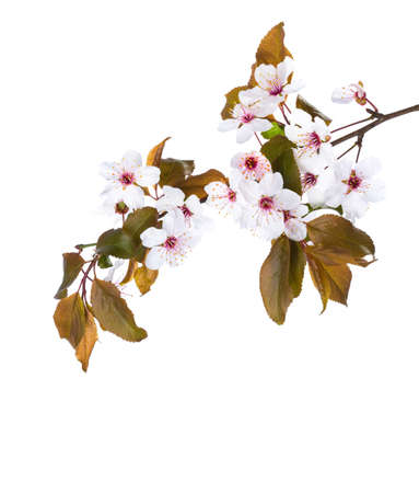 Blossoming branch of Plum isolated on white background.
