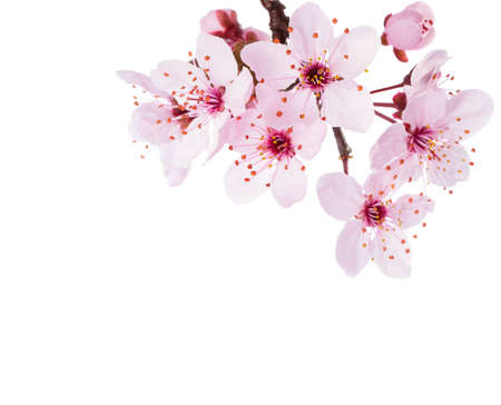 Zweig der Sakura isoliert auf weißem Hintergrund. Nahaufnahme.