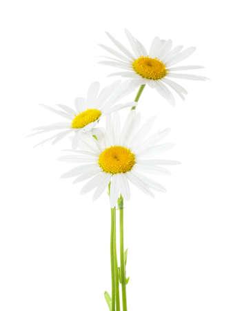 Three Chamomiles (Ox-Eye Daisy ) isolated on white background.