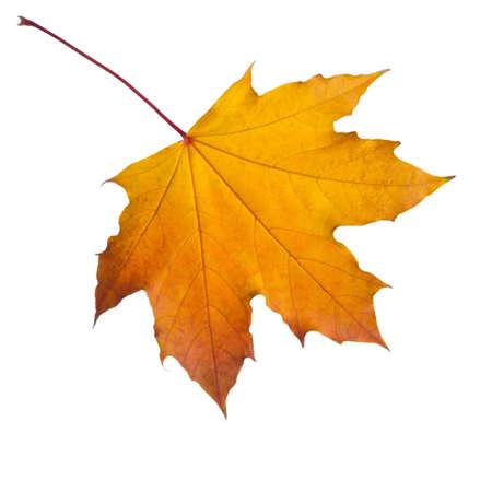 Autumn orange Maple leaf isolated on white background.