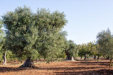 Big Olive tree in traditional plantation, Puglia (Apulia), Italy
