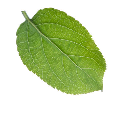 Young green leaf of Apple tree isolated on white background.