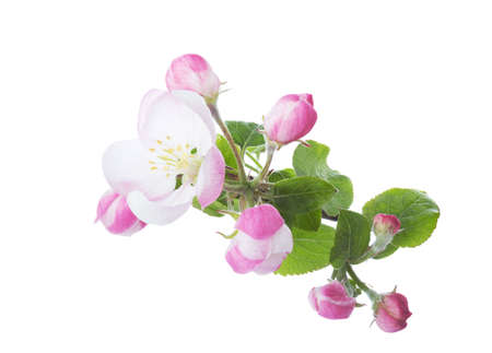 Blossoming branch of Apple tree isolated on white background.