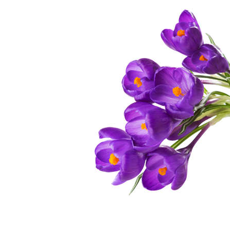 Crocus flowers  isolated on white background.