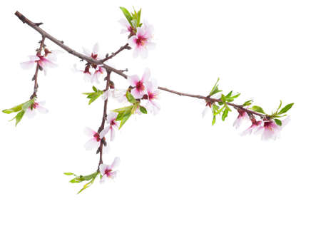 Flowering branch of Almond tree  isolated on white background.
