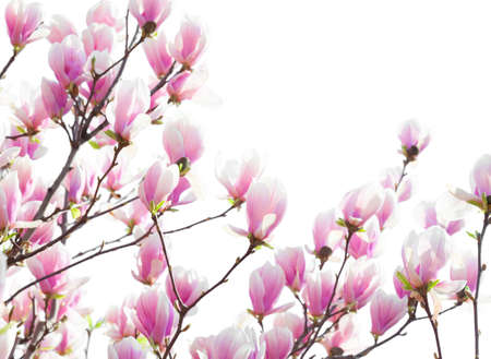 Branches with light pink Magnolia flowers isolated on white background. Selective focus.