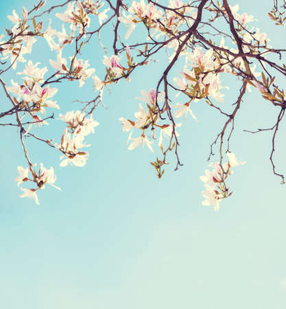 Branches of Orchid Tree  with flowers on blue sky background. Photo in retro style. Toned image. Selective focus. 免版税图像