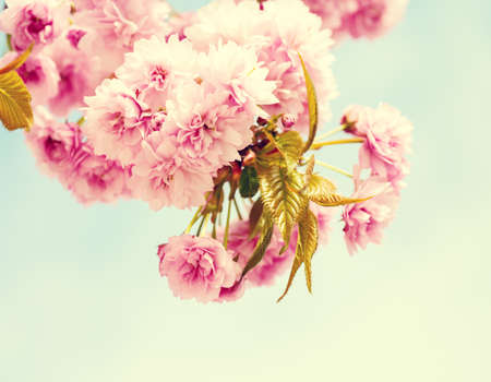 Branches with light pink flowers of Cherry blossoms (Sakura). Photo in retro style. Toned image. Selective focus. 免版税图像
