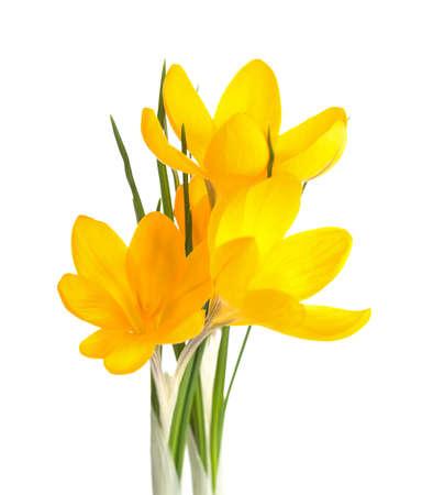 Three yellow Crocus flowers  isolated on white background.