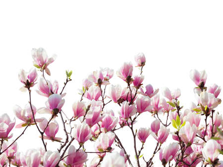 Branches with  beautiful  light pink Magnolia flowers isolated on white background. Floral border.  Selective focus.