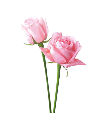 Two light pink Roses isolated on white background. 免版税图像