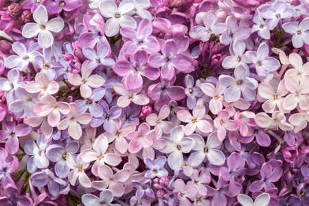 Floral background of сolorful tiny flowers of Lilac. Flat lay. Top view.