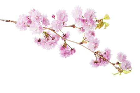 Branch of Sakura isolated on white background.